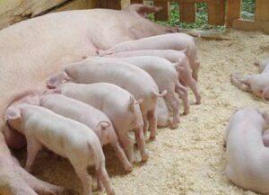 Fermierii primesc bani pentru bunăstarea porcilor