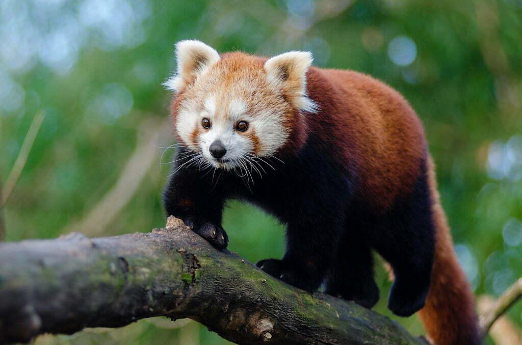 panda rosu zi internationala gradina zoologica brasov