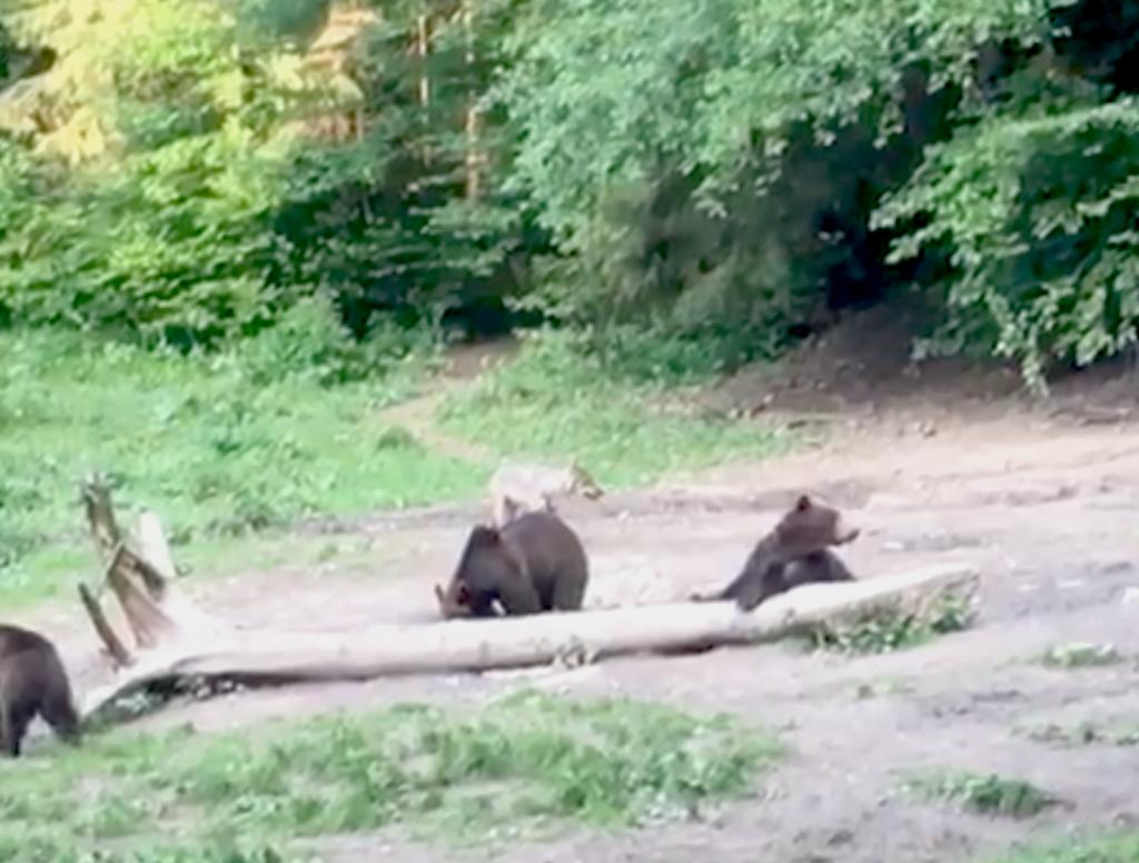 Urși în pădurile Brașovului, imagini cameră supraveghere.