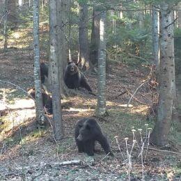 Cum văd activiștii de mediu planul pentru rezolvarea problemei urșilor: să lăsăm puşca cu tranchilizant la jandarmi, să nu cumpărăm puşti pentru veterinari, ci să intervenim cu bani pentru urmărirea GPS a animalelor, dar și fără hrană în pădure