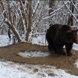 VIDEO O ursoaică care a stat captivă 20 de ani într-o cușcă înghesuită, imaginea traumei care nu se vindecă și nu se uită niciodată