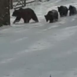 """VIDEO Trei ursuleți și mama lor au ieșit la plimbare prin Sinaia cu scopul de a se juca, dar și """"masa"""", după scurta hibernare"""