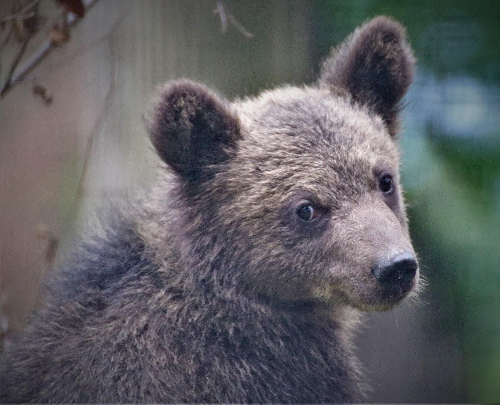 Atenționare ISU: urs pe străzile din Șchei