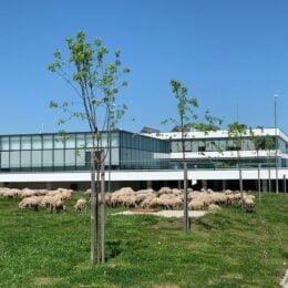 """Poza zilei: în timp ce edilii discută despre securitate cibernetică în incinta celui mai modern centru de afaceri din Brașov, o turmă de oi """"tunde"""" parcul de lângă clădire"""