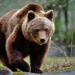 Măsurile promise de Ministerul Mediului după uciderea ursului Arthur încă se lasă așteptate. Câți urși au fost vânați de străini în ultimii 6 ani în Brașov