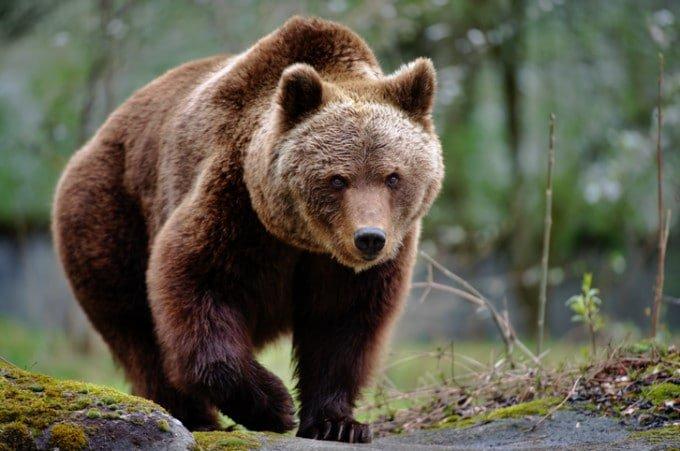 Ministrul Mediului, despre situaţia urşilor: Fără soluţii de la autorități, braconajul va fi răspunsul cetăţenilor