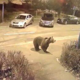 """Explicația înmulțirii urșilor pe străzile orașului: """"În pădurile Brașovului ar trebui să fie 18 urși. Acum sunt 100""""/ """"Am ajuns să îmi fie frică să trimit pădurarii în pădure"""""""