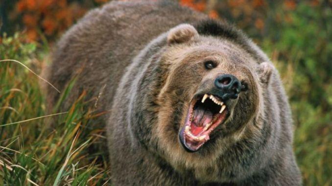 urs brun fioros in padure
