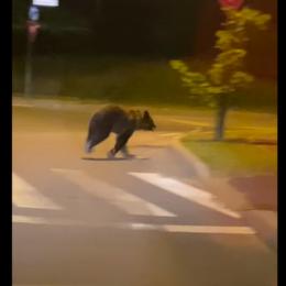 VIDEO Urșii din Brașov se civilizează: Au început să treacă strada pe trecerea de pietoni