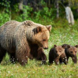Care este procedura de intervenție în cazul urșilor periculoși/ Dacă riscul este mare, prima opțiune este eutanasierea, nu împușcarea