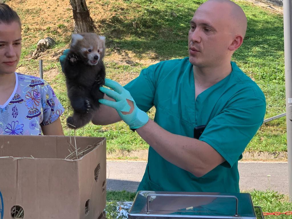 Pui anda rosu Zoo Brasov, premiera pentru Romania